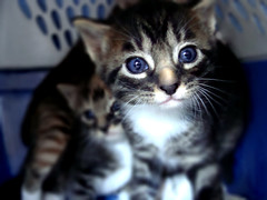 (b. garre) Tags: blue cats baby animal animals cat eyes focus kitten babies kittens burn dodge