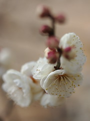 Prunus mume (yubomojao) Tags: japan expo plum   osaka    fllower