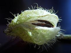 Balloon Plant Fruit (*Gitpix*) Tags: plants plant color macro nature fruit nikon natur pflanze seed seeds coolpix makro frucht farben frchte samen gomphocarpusfruticosus balloonplant cottonbush ballooncotton