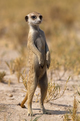 Meerkat Posing - Wild Dogger (thx for + 2 MIO views)