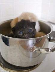20100811_00709b (Fantasyfan.) Tags: mäykky läskipää tuho kittens animals pets cute fluffy furry pool cooking blue eyes cattle warm bath cook boil seethe kitten soup fantasyfanin topv111 tag1 tag2 tag3 taggedout topv333 topv555 highqualityanimals