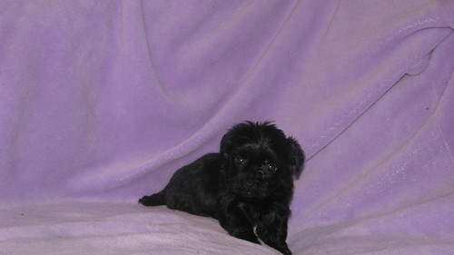 Teacup Yorkiepoo Puppy at 6 weeks