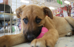 Site Pup Greta @ 11 weeks (Immature Animals) Tags: pink rescue dog baby cute animal ball puppy site eyes bars bored tennis foster bark alter adopt petco adoption neuter spay koaliton
