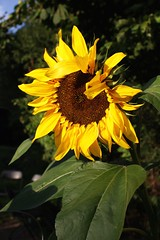 Helianthus annuus (dididumm) Tags: summer flower sunshine yellow bright sommer hell gelb sunflower sonnenblume sonnenschein helianthusannuus