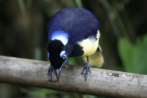 Cyanocorax Chrysops - Plush-crested Jay