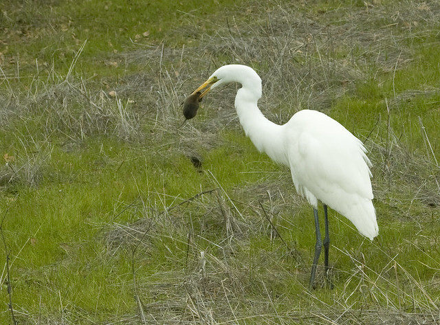 IMG_1836 Great Egret eating a vole 8