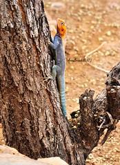 Ci atteccheremo ovunque, nella speranza di non cadere mai . (AnnaBrambilla) Tags: africa blue orange animal kenya safari animale geco rettile