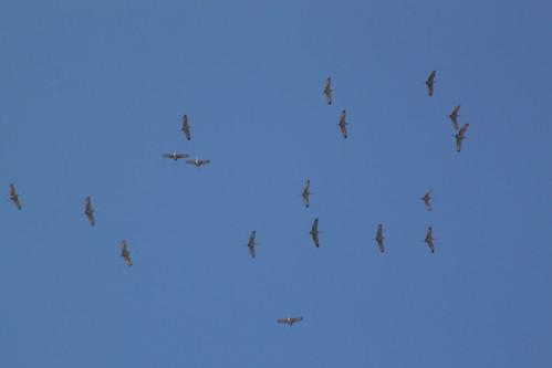 Sandhill Cranes in KY