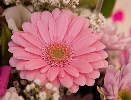 Week 8 - Pink Gerbera