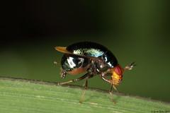 Celyphidae (Diptera) - Beetle fly (gbohne) Tags: insects insecta diptera macro java jakarta insekten insekt insect indonesia canon arthropoda animalia taxonomy:class=insecta taxonomy:order=diptera taxonomy:superfamily=lauxanioidea taxonomy:family=celyphidae taxonomy:genus=spaniocelyphus taxonomy:binomial=spaniocelyphuspalmi mp65 fliegen fliege fly flies taxonomy:phylum=arthropoda geo:region=asia geo:country=indonesia beetleflies celyphidae scutellum käferfliegen identified naturewatcher taxonomy:subphylum=hexapoda flash käferfliege pterygota taxonomy:subclass=pterygota brachycera taxonomy:suborder=brachycera beetlefly celyphid celyfid tier outdoor