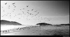 Birds (idoazul) Tags: blackandwhite bw blancoynegro beach water birds agua pacific playa pacfico pájaros perú
