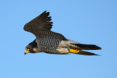 Peregrine Falcon (Brian E Kushner) Tags: new birds animals lens flying inflight wings nikon wildlife flight nj falcon jersey brigantine f4 vr forsythe peregrine birdwatcher peregrinefalcon falcoperegrinus forsythenwr nikor 200400 vrii forsythenationalwildliferefuge oceanville d7000 bkushner brianekushner nikond7000 nikon200400mmf4gedifafsvrzoomnikkorlens