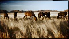 Wild Horses, Namibia (Mc Kernan Photography.com) Tags: africa sunset horses horse art wildlife pony dreamy namibia lanscape grazing wildhorses stallion equine gettyimagesirelandq12012