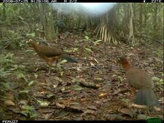 Nocturnal Currasow (siwild) Tags: largebirds nothocraxurumutum file:name=img0036jpg siwild:study=peruocelotsurvey siwild:studyId=arabelasets siwild:plot=arabela geo:locality=northernperu taxonomy:group=largebirds sequence:index=25 sequence:length=33 siwild:location=perulocr siwild:camDeploy=perudeploy51 sequence:key=16 siwild:region=peru BR:QCID=5493259763 BR:batch=sla1220110304035448 nocturnalcurrasow taxonomy:species=nothocraxurumutum taxonomy:common=nocturnalcurrasow siwild:trigger=perubirdstaff3100 sequence:id=perubirdstaff3100 siwild:date=200807250926060 siwild:imageid=10374 file:path=epuntor724824peru27img0036jpg siwild:species=322