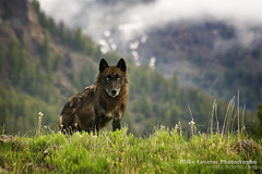 Black Wolf in Yellowstone National Park - Free Roaming Photography
