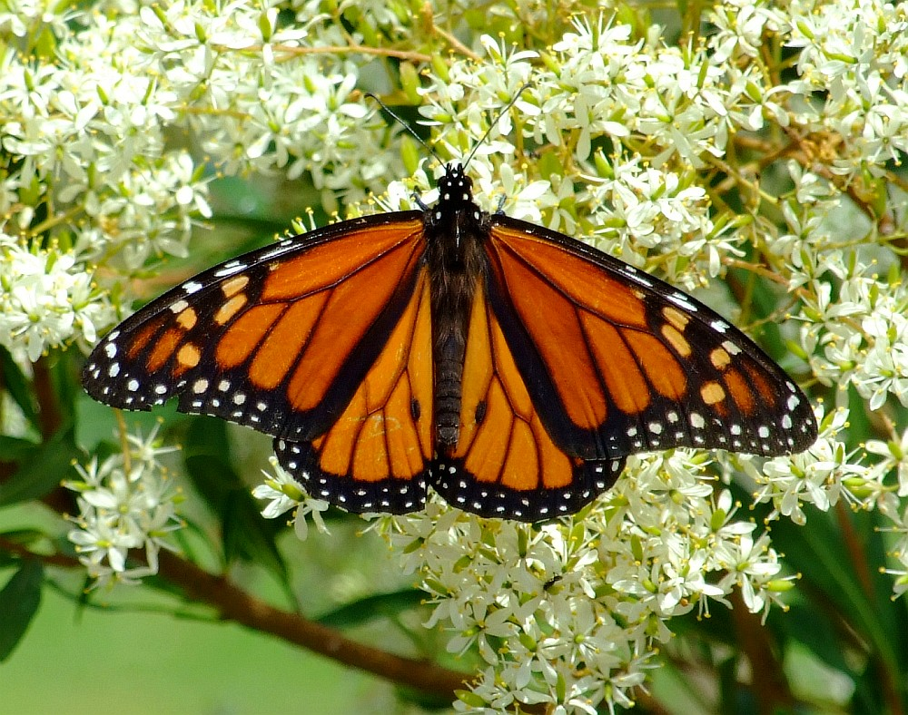 monarch butterfly 05
