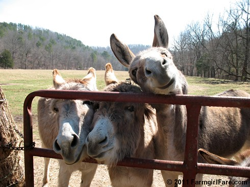 Donkettes hoping for treats