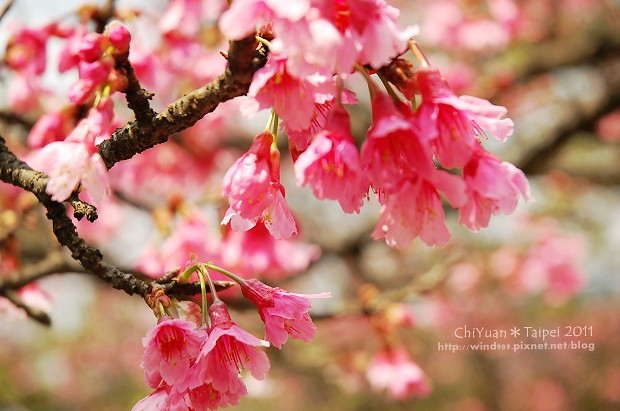 2011陽明山花季09.jpg