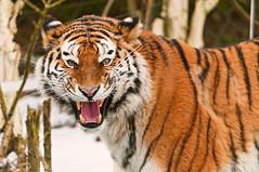 [フリー画像] 動物, 哺乳類, ネコ科, 虎・トラ, 怒る, 口を開ける, 201103131700