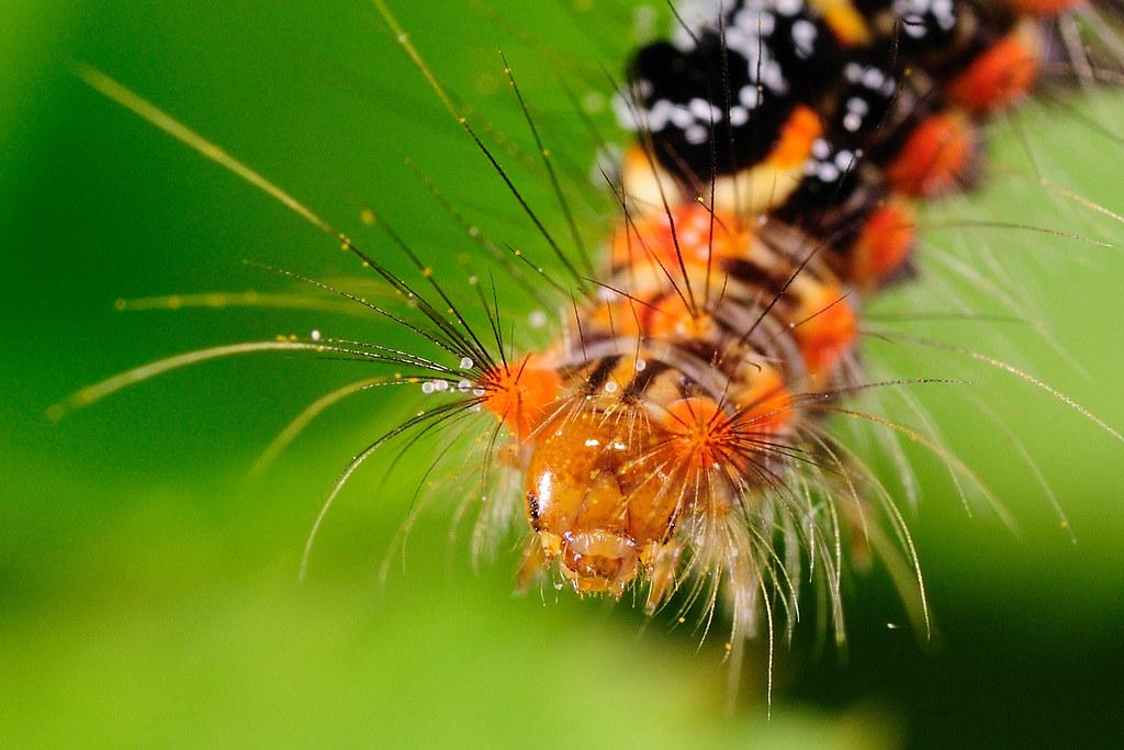 台灣黃毒蛾(幼蟲) Porthesia taiwana