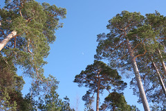 IMG_9569 (Tornny) Tags: sea sky beach pine forest canon spring sand dunes dune bluesky natura latvia riga balticstates thebalticsea латвия whitedune canon450d baltakapa белаядюна