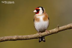 Goldfinch, Carduelis carduelis. (Nigel Blake, 17 MILLION views! Many thanks!) Tags: bird history nature station birds canon photography eos natural feeding wildlife goldfinch feeder finch finches perched blake nigel ornithology songbird 14x carduelis passerine 600mm f4is 1dsmkiii