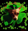 Happy Saint Paddy's Day (faith goble) Tags: ireland irish dog pet chihuahua green art hat saint photoshop miniature artist photographer kentucky ky faith tiny creativecommons poet writer pup teacup patty snakes shamrock bowlinggreen stpatricksday goodluck leprechaun adobeillustrator padraic 2011 éire goble eringobragh thewearingofthegreen faithgoble gographix faithgobleart