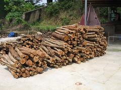 銀合歡枝梢材無法製材,燒製成木炭反而用途更多。照片提供:林試所