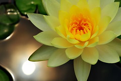 Light in Your Eyes (nawapa) Tags: flower yellow waterlily nymphaeaceae nawapa