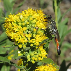 Female thread-waisted wasp on goldenrod (Jerry Friedman) Tags: ammophila autumn wasp macro outdoor flower