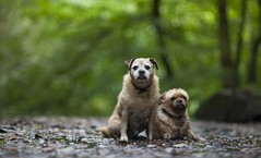 Pair Together! (Ben Lockett) Tags: blur bokeh 85l 5d friends pets pet 2 pair waterfall holinwood knyperselypool woodland river bored sad dirty waterlogged drenched moist soggy soaked wet yug porkie pugcross pug tilly birty animal dog dogs