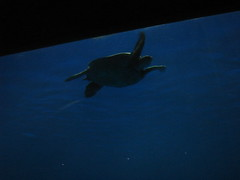 Sea turtle in outer bay tank. (wbaiv) Tags: ocean vacation water animal museum aquarium bay monterey tank montereybayaquarium aquatic seaturtle pleasure cliche letsgo endless cliches facination neverbored outerbay