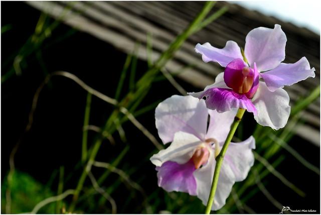 Singapore Orchids Garden