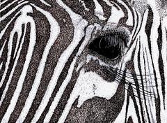 Zebra (karl_addison) Tags: blue horse black cold color eye art nature face animal illustration pen ink sketch artwork artist drawing wildlife doodle zebra beast draw tone illustrate karladdison