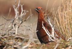 Male Red Grouse (ron.hindhaugh) Tags: red bird nikon durham grouse sigma northeast d300 redgrouse digitalcameraclub waskerley nikond300 thewonderfulworldofbirds
