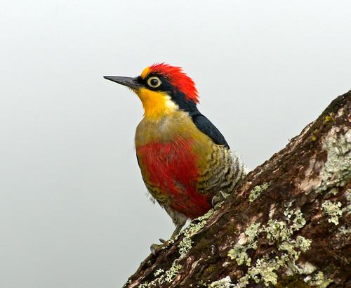 [フリー画像] 動物, 鳥類, キツツキ科, キノドミヤビゲラ, 201101281700