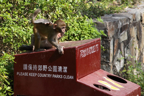 Baby monkeys play on a rubbish bin