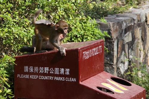 Baby monkeys play on a rubbish bin