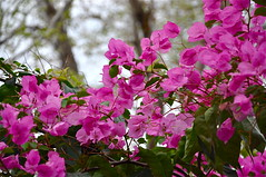 Nature is Peace  [ Explored ] (The Spirit of the World) Tags: pink flowers nature vine bougainvillea fantasticnature nikonflickraward mygearandme