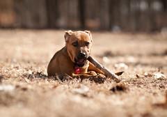 DSC_4674 (nextelbuddy) Tags: dog playing cute animals puppy fun happy nikon running dslr dogpark 85mm18 d300s