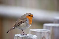 EVERYONES FAVORITE LITTLE BIRD (GOLDENORFE) Tags: bird robin