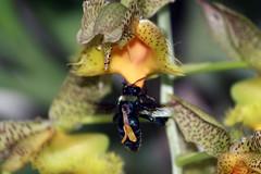 Mamangava no Catasetum (Jaburte) Tags: flores orchid flower macro bug insect flor bee abelha inseto catasetum orquidea mamangava fisp iracempolis