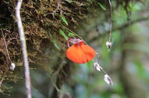 Utricularia campbelliana (Lentibulariaceae)