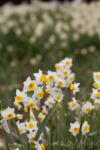 Japanese Narcissus