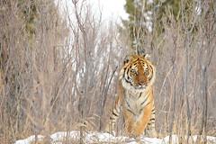 Siberian Tiger in Snow (Ami 211) Tags: tiger siberiantiger bigcats amurtiger panthera pantheratigris felidae pantherinae amurtigerinsnow siberiantigerinsnow