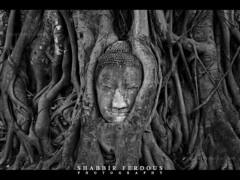 Existence is suffering, cause of suffering is desire. (Shabbir Ferdous) Tags: blackandwhite bw thailand photographer shot buddha roots ayutthaya banyantree bangladeshi watmahathat entrapped ef1635mmf28liiusm shabbirferdous canoneos1dmarkiv wwwshabbirferdouscom shabbirferdouscom