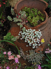 sedum (Oregon State University) Tags: sedumspathulifolium cultivars