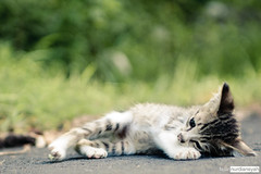 When Life Gets You Down (Fajar Nurdiansyah) Tags: d90 sigma2470mmexdg animal bokeh cat kitten bali indonesia