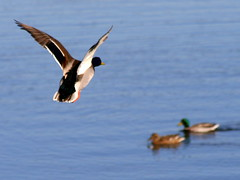Waterfowl in Winter: Duck in flight