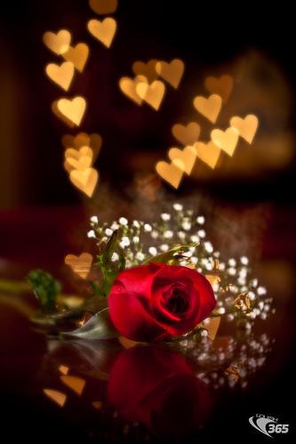 Valentines Rose 045/365